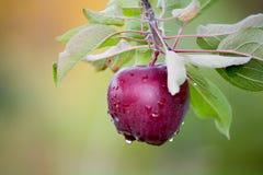 Apple fresco ainda em árvores Imagens de Stock