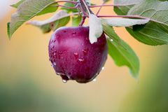 Apple fresco ainda em árvores Fotografia de Stock Royalty Free
