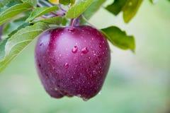 Apple fresco ancora sugli alberi Fotografia Stock