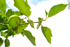 Apple. Fresh green apple on a background of the sky royalty free stock image