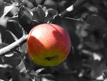 Apple, Fruit, Apple Tree, Frisch Royalty Free Stock Photos