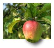 Apple, Fruit, Apple Tree, Hdr, Ebv Stock Images