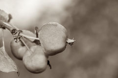 Apple fruit branch sepia Stock Images