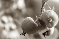 Apple fruit branch sepia Royalty Free Stock Photos