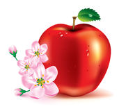 Apple. The fruit and flowers. Beautiful red apple and flowers on a branch Stock Photography