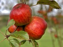 Apple, Fruit, Local Food, Produce royalty free stock images