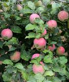 Apple, fruit, tree, red, food, ripe, green, branch, autumn, orchard, apples, agriculture, fresh, healthy, nature, leaf, harvest, g