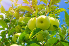 Apple fruits background Royalty Free Stock Photo