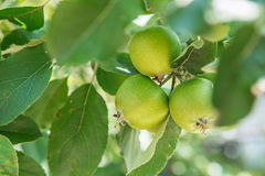 Apple fruits growing on a apple tree branch in orchard. Apple ripening Stock Photos