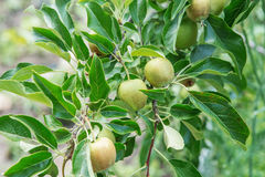Apple fruits growing on a apple tree branch in orchard. Apple ripening Stock Photo