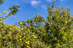 Apple fruits in a tree Royalty Free Stock Photography