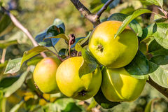 Apple fruits in a tree Stock Image