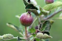 Apple frukt fotografering för bildbyråer