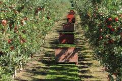 Apple fruktträdgård 02 Arkivfoto