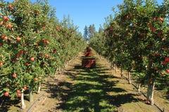 Apple fruktträdgård 02 Fotografering för Bildbyråer