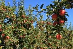 Apple fruktträdgård 02 Arkivbilder
