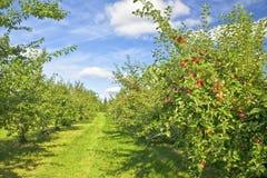 Apple fruktträdgård arkivfoton