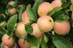 Apple fruktträdgård Royaltyfria Bilder