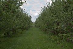 Apple fruktträdgård arkivbilder