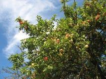 Apple fruktträdgård i nedgången Fotografering för Bildbyråer