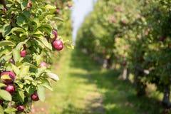 Apple fruktträdgård i sommar arkivfoto