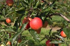 Apple fruktträdgård i sommar Royaltyfria Bilder