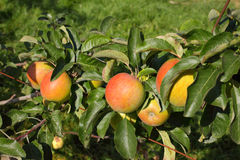 Apple fruktträdgård i sommar Royaltyfri Foto