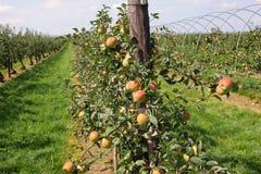 Apple fruktträdgård i sommar Arkivfoton