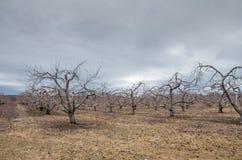 Apple fruktträdgård i vintern Royaltyfria Foton