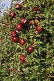 Apple fruktträdgård med röda mogna äpplen Fotografering för Bildbyråer