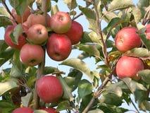 Apple fruktträdgård med röda mogna äpplen på träden Royaltyfri Foto