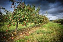 Apple fruktträdgård på den molniga dagen Royaltyfria Foton