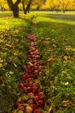 Apple fruktträdgård under nedgångskörd Royaltyfri Foto