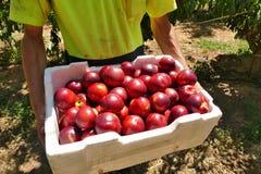 Apple fruktträdgårdar Arkivbilder