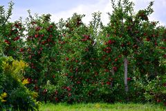 Apple fruktträdgårdar Wayne County New York fotografering för bildbyråer