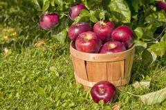 Apple fruktträdgård Royaltyfri Fotografi