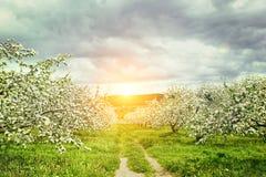 Apple fruktträdgård i vår Arkivfoto