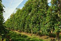 Apple fruktträdgård under skuggatorkduken i Motueka, Nya Zeeland Arkivfoton