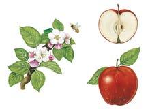 Apple: frutas, flores y rama Imágenes de archivo libres de regalías