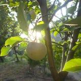 Apple in frutteto Immagini Stock Libere da Diritti