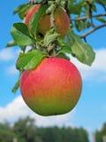 Apple garden Stock Images