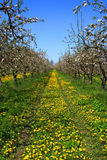 Apple Garden Royalty Free Stock Image