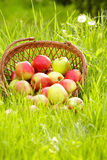 Apple in garden Royalty Free Stock Image