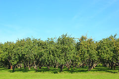 Apple garden. Apple orchard on a sunny day on a background of blue sky Royalty Free Stock Photo