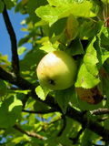 The Apple in the garden. The image of the beautiful Apple on branch Royalty Free Stock Photography