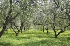 Apple garden. The big apple garden with large old trees, spring Stock Photos