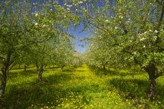 Apple garden blossom Royalty Free Stock Photos