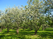 Apple garden in blossom. Apple garden in spring, trees in blossom with white flowers, on blue sky and green grass Stock Images