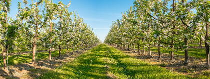 Apple garden blossom Royalty Free Stock Images
