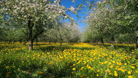 Apple garden blossom. Panoramic shot stock video footage